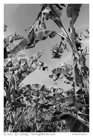 Banana trees. Ben Tre, Vietnam (black and white)