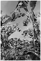 Banana trees. Ben Tre, Vietnam ( black and white)