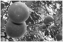 Grapefruit on tree. Ben Tre, Vietnam (black and white)