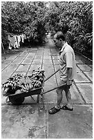 Man with wheelbarrow filled with bananas and coconuts. Ben Tre, Vietnam ( black and white)