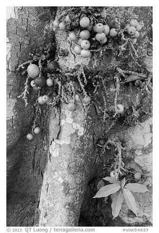 Close-up of bark and fig. My Tho, Vietnam (black and white)