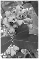 Close-up of Malay apples on tree. My Tho, Vietnam (black and white)