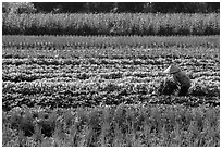 Woman in field of vegetables. Tra Vinh, Vietnam ( black and white)
