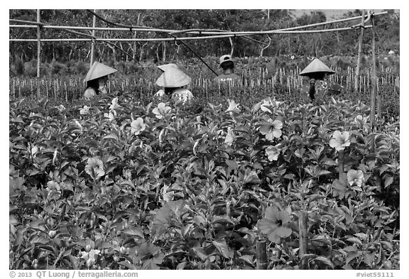 Flowers and workers in flower field. Sa Dec, Vietnam (black and white)