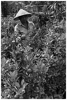 Man taking care of fruit trees. Sa Dec, Vietnam ( black and white)