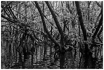 Mangrove forest, Bay Canh Island, Con Dao National Park. Con Dao Islands, Vietnam ( black and white)