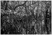 Dense mangroves growing in water, Bay Canh Island, Con Dao National Park. Con Dao Islands, Vietnam ( black and white)