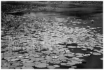 Pond with flowering lotus. Con Dao Islands, Vietnam ( black and white)