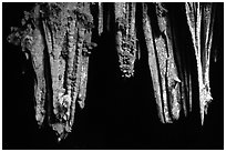Stalactite in upper Phong Nha Cave. Vietnam (black and white)