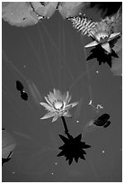 Lotus flower, Thien Mu Pagoda. Hue, Vietnam (black and white)