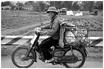 Motorcyclist carrying live pigs. Vietnam ( black and white)