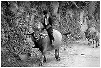 Hmong man riding a water buffalo near Yen Chay. Northwest Vietnam ( black and white)