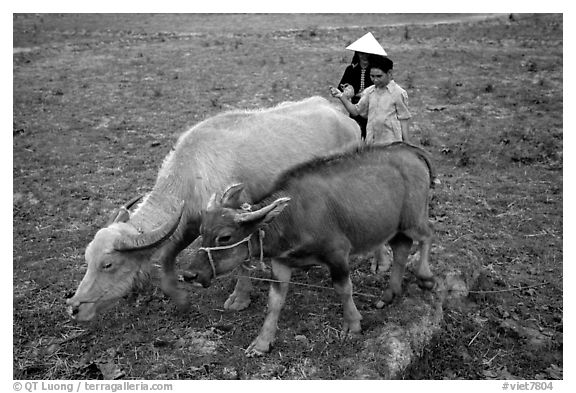Thai women guiding water buffaloes in the field, near Son La. Northwest Vietnam (black and white)