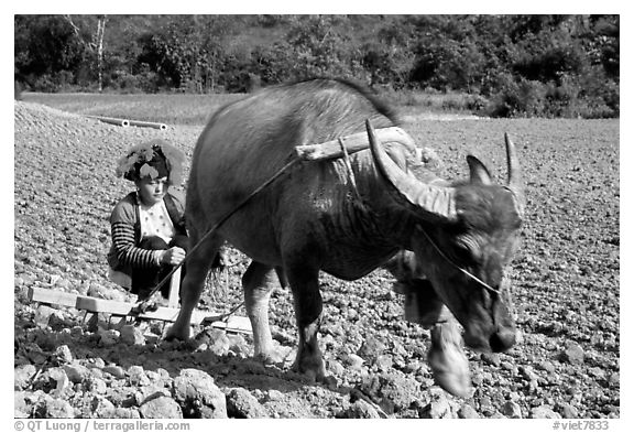 Dzao woman using a water buffao to plow a field, near Tuan Giao. Northwest Vietnam (black and white)