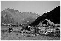 Plowing a field with a water buffalo close to a hut, near Tuan Giao. Northwest Vietnam (black and white)