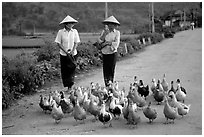 Thai women herding ducks, Tuan Giao. Northwest Vietnam ( black and white)
