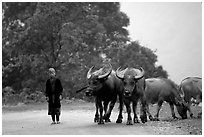 Boy keeping water buffaloes. Sapa, Vietnam ( black and white)