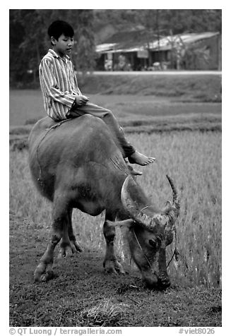 Boy sitting on water buffalo, near the Perfume Pagoda. Vietnam (black and white)