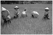 Labor-intensive rice cultivation. Ben Tre, Vietnam (black and white)