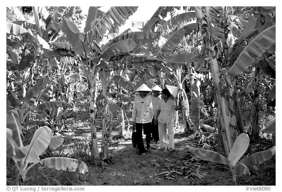 Banana tree plantation in the fertile lands. Ben Tre, Vietnam (black and white)