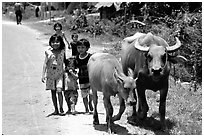 Children walk water buffalos,  very placid and strong animals. Mekong Delta, Vietnam (black and white)