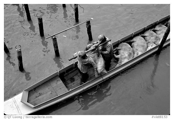 Transporting live pigs, near Phung Hiep. Can Tho, Vietnam (black and white)