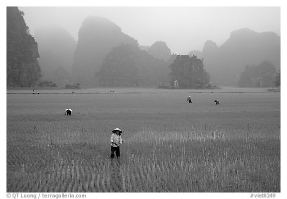 Villagers working in rice fields among karstic mountains of Tam Coc. Ninh Binh,  Vietnam (black and white)