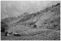 Working on a hill side with a water buffalo. Sapa, Vietnam ( black and white)