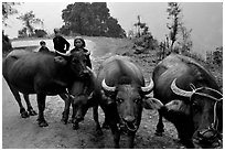 Water buffalo and mountain children. Sapa, Vietnam (black and white)