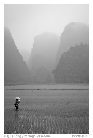 Woman tending to the rice fields, with a background of karstic cliffs in the mist. Ninh Binh,  Vietnam (black and white)