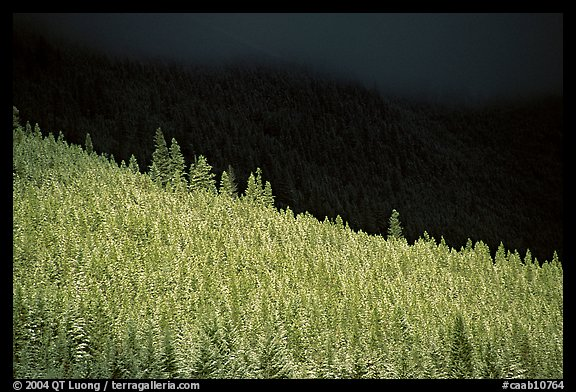 Conifer forest in storm light. Banff National Park, Canadian Rockies, Alberta, Canada (color)