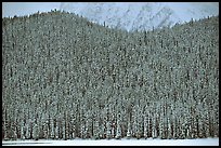 Hill with snowy conifers. Banff National Park, Canadian Rockies, Alberta, Canada
