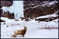 Mountain Goat at the base of a frozen waterfall. Banff National Park, Canadian Rockies, Alberta, Canada