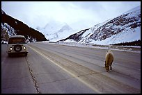 Mountain goat and camper car on Icefields Parway in winter. Banff National Park, Canadian Rockies, Alberta, Canada