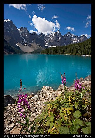 Fireweed and Moraine Lake, late morning. Banff National Park, Canadian Rockies, Alberta, Canada