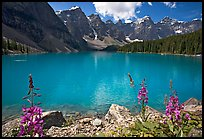 Fireweed and turquoise waters of Moraine Lake, late morning. Banff National Park, Canadian Rockies, Alberta, Canada (color)