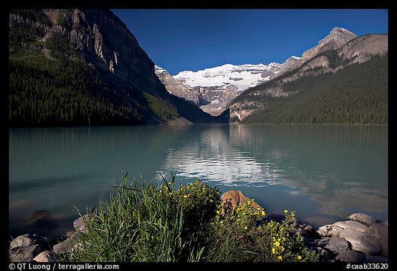 Yellow flowers, Victoria Peak, and green-blue waters of Lake Louise, morning. Banff National Park, Canadian Rockies, Alberta, Canada (color)