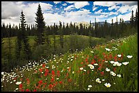Red paintbrush flowers, daisies, and mountains. Banff National Park, Canadian Rockies, Alberta, Canada