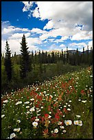 Meadow with Red paintbrush flowers and daisies. Banff National Park, Canadian Rockies, Alberta, Canada