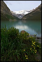 Yellow flowers, Victoria Peak, and green-blue Lake Louise, dawn. Banff National Park, Canadian Rockies, Alberta, Canada