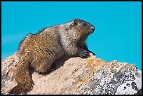 Marmot sitting on rock. Banff National Park, Canadian Rockies, Alberta, Canada