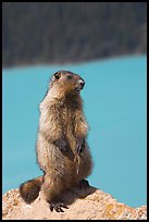 Marmot standing. Banff National Park, Canadian Rockies, Alberta, Canada (color)
