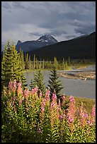 Fireweed, river, and approaching storm. Banff National Park, Canadian Rockies, Alberta, Canada