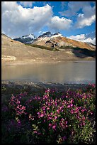 Wildflowers and  glacial pond at the base of the Athabasca Glacier. Jasper National Park, Canadian Rockies, Alberta, Canada