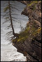 Spruce tree growing on a steep ledge,  Athabasca Falls. Jasper National Park, Canadian Rockies, Alberta, Canada
