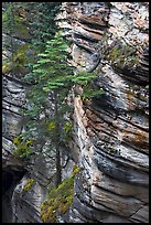 Trees and canyon walls,  Athabasca Falls. Jasper National Park, Canadian Rockies, Alberta, Canada
