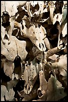 Stack of buffalo skulls, Head-Smashed-In Buffalo Jump. Alberta, Canada (color)