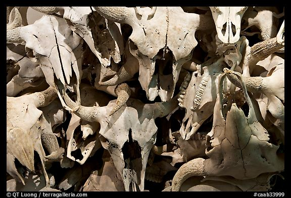 Buffalo skulls, Head-Smashed-In Buffalo Jump. Alberta, Canada (color)