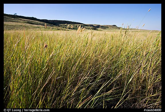 Tall prairie grasses with cliff in the distance,  Head-Smashed-In Buffalo Jump. Alberta, Canada (color)