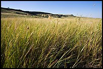 Tall prairie grasses with cliff in the distance,  Head-Smashed-In Buffalo Jump. Alberta, Canada